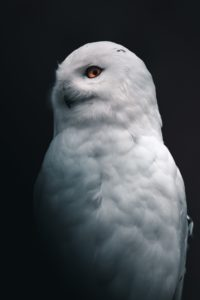 White owl at night
